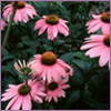 Photo: Echinacea
