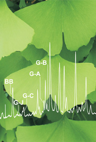 Ginkgo leaves and overlaid chromatogram