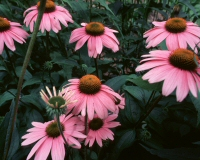 Photo of Echinacea purpurea flowers