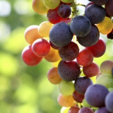 Multicolored grapes on a vine